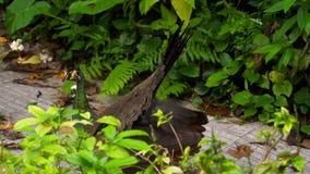 Retrato del pavo real hermoso con las plumas almacen de video