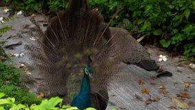 Retrato del pavo real hermoso con las plumas metrajes