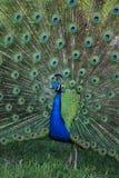 Retrato del pavo real que exhibe sus plumas Imagen de archivo libre de regalías