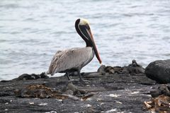 Retrato del pelícano de Brown (las Islas Galápagos, Ecuador) Fotos de archivo