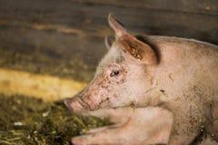 Retrato del pequeño cerdo Fotos de archivo libres de regalías