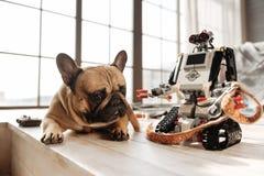 Retrato del pequeño perro que miente cerca del juguete técnico Fotos de archivo libres de regalías