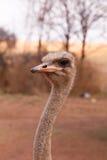 Retrato del perfil de la avestruz Foto de archivo libre de regalías