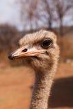 Retrato del perfil de la avestruz Fotos de archivo libres de regalías