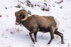 Retrato del perfil de las ovejas de Bighorn en nieve Imágenes de archivo libres de regalías