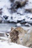 Retrato del perfil de las ovejas de Bighorn en nieve Imagen de archivo