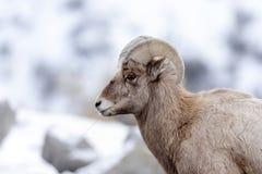 Retrato del perfil de las ovejas de Bighorn en nieve Foto de archivo libre de regalías