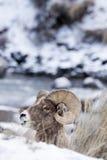 Retrato del perfil de las ovejas de Bighorn en nieve Fotografía de archivo