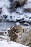Retrato del perfil de las ovejas de Bighorn en nieve Imagen de archivo libre de regalías
