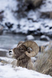 Retrato del perfil de las ovejas de Bighorn en nieve foto de archivo