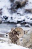 Retrato del perfil de las ovejas de Bighorn en nieve Fotos de archivo