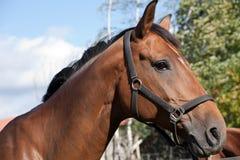 Retrato del perfil del caballo de bahía Imagenes de archivo