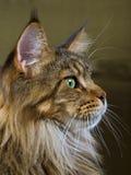 Retrato del perfil del gato de Coon de Maine Fotos de archivo