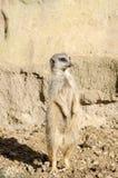 Retrato del perfil en un Meerkat de cola corta solitario que se coloca a Atte foto de archivo libre de regalías