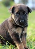 Retrato del perrito Foto de archivo libre de regalías