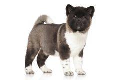 Retrato del perrito de Akita del americano Fotografía de archivo libre de regalías