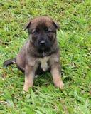 Retrato del perrito de Brown Imagen de archivo