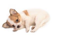 Retrato del perrito de la chihuahua Fotografía de archivo