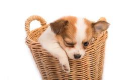 Retrato del perrito de la chihuahua en cesta Imagenes de archivo