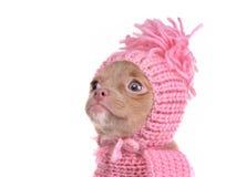 Retrato del perrito de la chihuahua que desgasta el sombrero rosado Foto de archivo libre de regalías