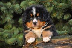 Retrato del perrito de Sennenhund Foto de archivo libre de regalías