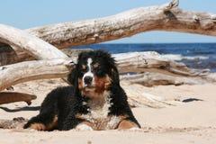 Retrato del perrito de Sennenhund en la playa Fotografía de archivo libre de regalías