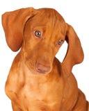 Retrato del perrito de Vizsla que mira abajo Imagen de archivo