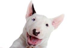 Retrato del perrito del bullterrier fotos de archivo libres de regalías