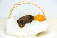 Retrato del perrito del doberman de 10 días Foto de archivo