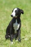 Retrato del perrito del galgo Imagenes de archivo
