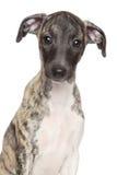 Retrato del perrito del lebrel en el fondo blanco fotos de archivo