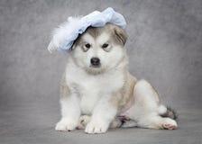 Retrato del perrito del malamute Imágenes de archivo libres de regalías