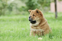 Retrato del perrito del perro chino de Llittle Chow Foto de archivo