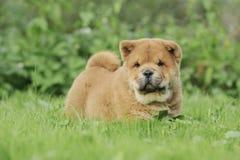 Retrato del perrito del perro chino de perro chino de Llittle Imagenes de archivo