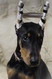 Retrato del perrito del Pinscher del Doberman Foto de archivo libre de regalías