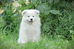 Retrato del perrito del samoyedo de Llittle Imagen de archivo libre de regalías