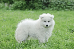 Retrato del perrito del samoyedo de Llittle Foto de archivo