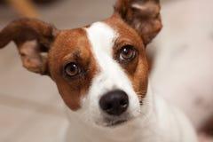 Retrato del perrito del terrier de Gato Russell fotografía de archivo
