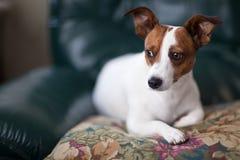 Retrato del perrito del terrier de Gato Russell en la almohadilla fotografía de archivo
