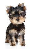 Retrato del perrito del terrier de Yorkshire Imagenes de archivo