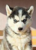 Retrato del perrito fornido Fotografía de archivo libre de regalías