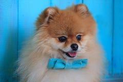 Retrato del perrito pomeranian en una corbata de lazo azul Fotografía de archivo libre de regalías