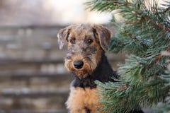 Retrato del perrito del terrier de Airedale al aire libre fotos de archivo