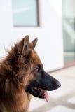 Retrato del perro alemán del shepperd Imagenes de archivo