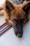 Retrato del perro alemán del shepperd en piscina swimiming del fondo Foto de archivo