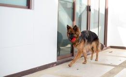 Retrato del perro alemán del shepperd que juega el juguete del rojo de la mordedura Foto de archivo libre de regalías