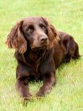 Retrato del perro alemán del perro de aguas Imagenes de archivo