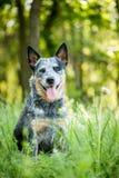 Retrato del perro australiano del ganado Foto de archivo