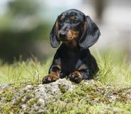 Retrato del perro basset Imagenes de archivo