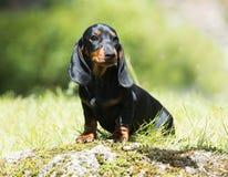 Retrato del perro basset Fotografía de archivo libre de regalías